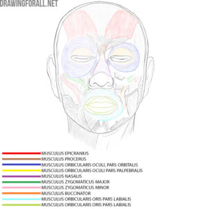 Head muscles anatomy
