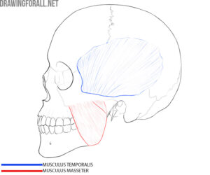 Head muscles anatomy for artists