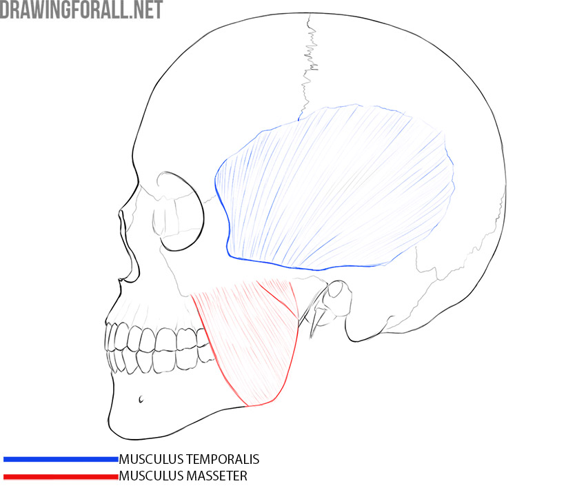 Head Muscles and plastic anatomy