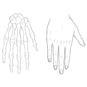 Human hands anatomy for artists