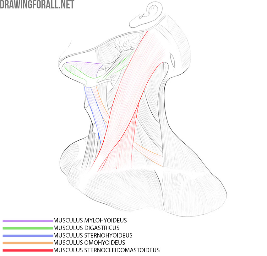 Human neck muscles anatomy for artists