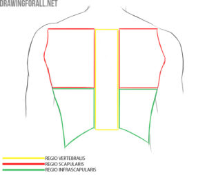 Torso muscles anatomy for artists