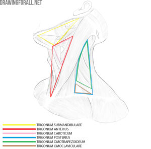 neck anatomy for artists