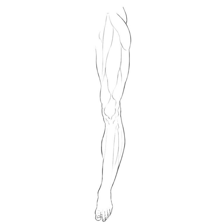 Lower Limbs Muscle Anatomy