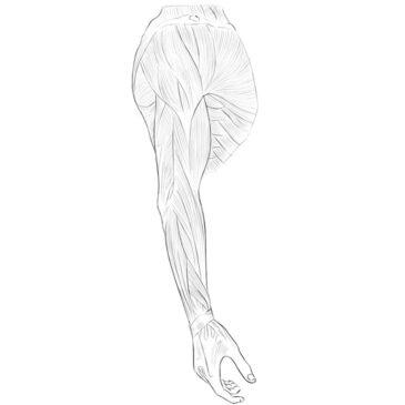 Upper Limbs Muscle Anatomy