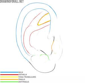 Ear anatomy for artists