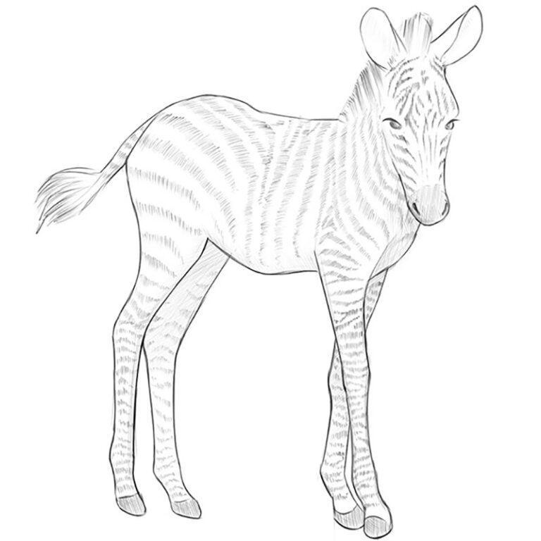 How to Draw a Baby Zebra
