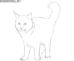 how to draw a maine coon cat easy