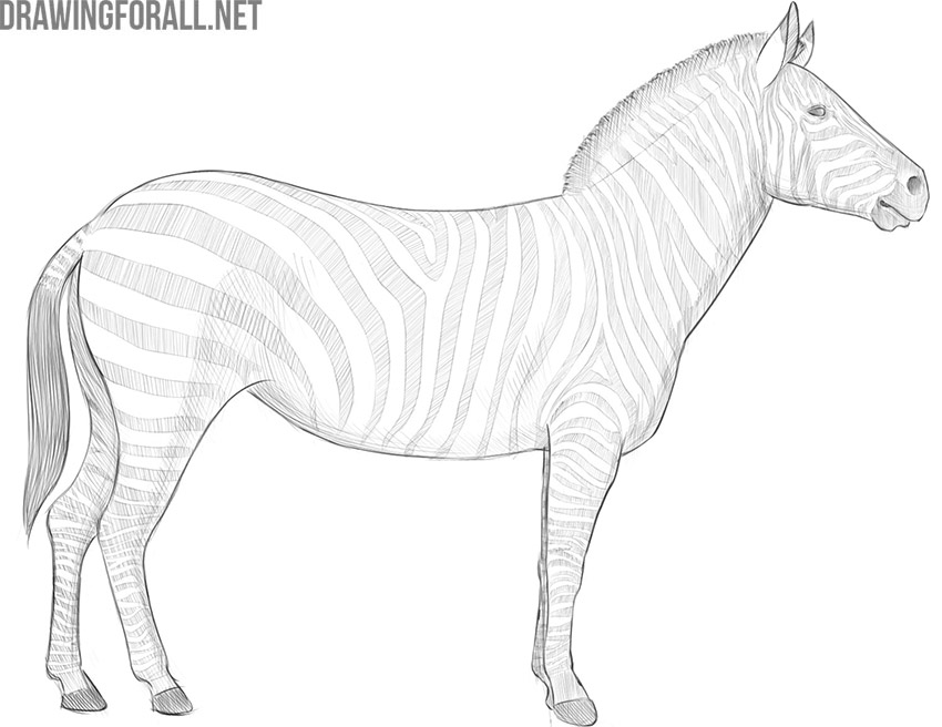 how to draw a zebra