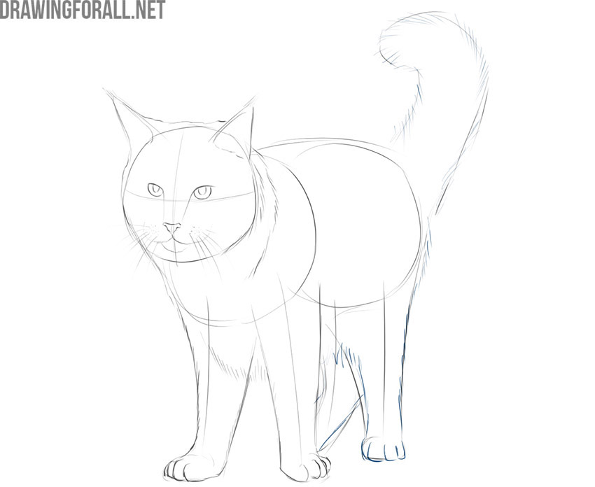 how to draw a realistic maine coon cat